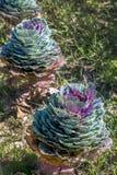Красочная декоративная капуста растя в поле стоковое изображение rf