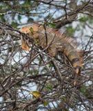 Красочная игуана в дереве Стоковое Изображение