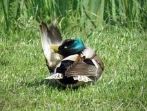 Красочная дикая утка Стоковая Фотография RF