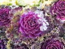 Красочная листовая капуста Стоковые Изображения