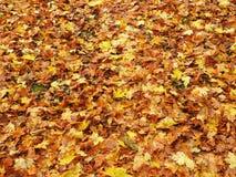 Красочная картина листьев осени, Литва Стоковое Фото