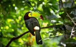 Красочная кил-представленная счет toucan птица Стоковое Фото