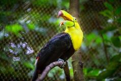 Красочная кил-представленная счет toucan птица Стоковое Изображение