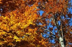 Красочная крона бука в осени Стоковые Фото