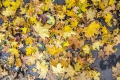 Красочная листва клена Стоковые Фото