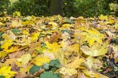 Красочная листва клена Стоковое Фото