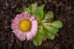 Красочная маргаритка с падениями дождя Красивый маленький цветок в увеличении стоковая фотография rf