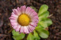 Красочная маргаритка с падениями дождя Красивый маленький цветок в увеличении стоковое фото