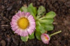Красочная маргаритка с падениями дождя Красивый маленький цветок в увеличении стоковая фотография