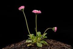 Красочная маргаритка с падениями дождя Красивый маленький цветок в увеличении стоковое изображение rf