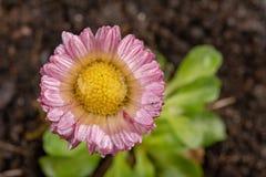 Красочная маргаритка с падениями дождя Красивый маленький цветок в увеличении стоковое изображение