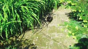 Красочная мужская деревянная утка идет вдоль пути между высокой прибрежной травой, около своего гнезда на солнечный день акции видеоматериалы