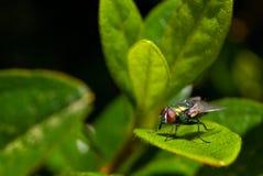 Красочная муха на листьях Стоковая Фотография