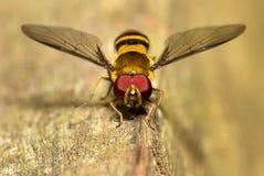 Красочная муха сфотографированная в Аргентине Стоковые Фото