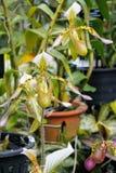 Красочная орхидея тапочки дамы Стоковая Фотография