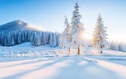 Красочная панорама зимы в прикарпатских горах Ели покрыли свежий снег на морозном утре накаляя сперва Стоковая Фотография RF
