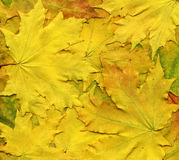 Красочная предпосылка желтых листьев осени Стоковое Фото
