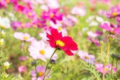 Красочная предпосылка хризантемы Стоковые Изображения
