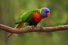 Красочная радуга попугая, haematodus Trichoglossus Lorikeets, сидя на ветви, животное в среду обитания природы, Австралия bluets Стоковые Изображения RF