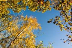 Красочная сень дерева в осени на солнечном утре Стоковое Фото
