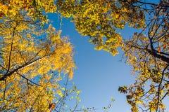 Красочная сень дерева в осени на солнечном утре Стоковое Изображение RF