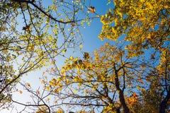 Красочная сень дерева в осени на солнечном утре Стоковая Фотография RF
