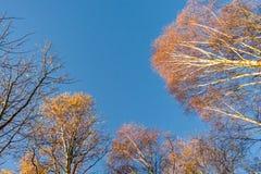 Красочная сень дерева в осени на солнечном утре Стоковое фото RF
