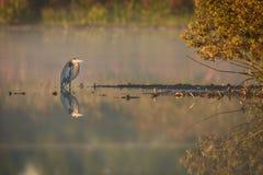 Красочная серая цапля отражая в спокойном озере стоковые фотографии rf