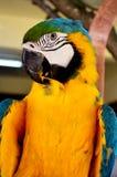 Красочная съемка крупного плана попугая стоковое фото rf