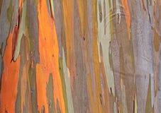 Красочная текстура дерева евкалипта Стоковая Фотография RF