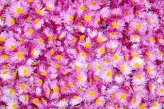 Красочная хризантема цветет красивая предпосылка Стоковые Изображения