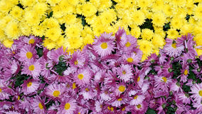 Красочная хризантема цветет красивая предпосылка Стоковые Фотографии RF