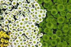 Красочная хризантема цветет красивая предпосылка Стоковые Изображения RF