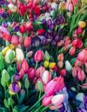 Красочное влияние краски фото тюльпана Стоковая Фотография RF