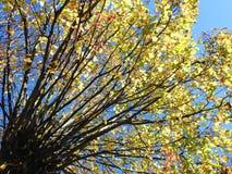 Красочное дерево осени, Литва Стоковые Фотографии RF
