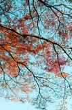 Красочное дерево осени против голубого неба, Narita, Японии Стоковые Изображения RF