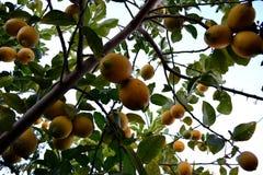 Красочное дерево лимона Стоковая Фотография