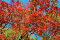 Красочное дерево кленового листа Стоковое Изображение RF