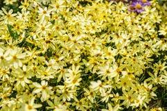 Красочное желтое и бледное белое daisybush цветет крупный план Стоковые Фотографии RF