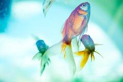 Красочное заплывание рыб в аквариуме стоковое фото rf