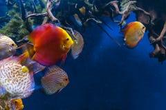 Красочное заплывание рыб диска в аквариуме Стоковые Изображения