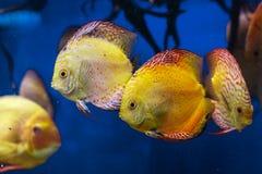 Красочное заплывание рыб диска в аквариуме стоковое фото