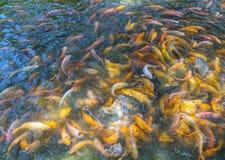 Красочное заплывание карпа в пруде Стоковая Фотография