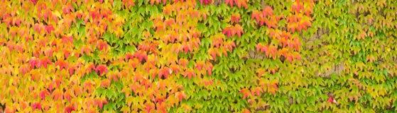 Красочное знамя кленовых листов осени, панорама Стоковые Изображения