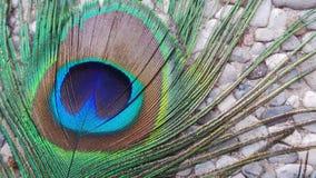 Красочное перо павлина Стоковые Изображения