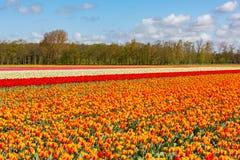 Красочное поле тюльпана около Lisse в Голландии Стоковое Изображение