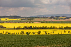 Красочное поле рапса Желтый рапс поля в цветени с голубым небом и белыми облаками Стоковые Фотографии RF