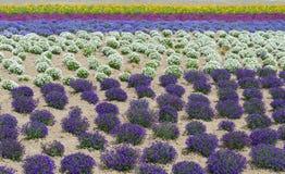 Красочное поле цветка в лете на Хоккаидо Японии Стоковое Изображение RF