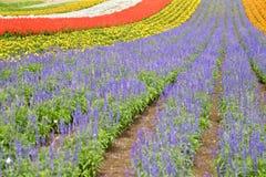 Красочное поле цветка с лавандами Стоковое Изображение
