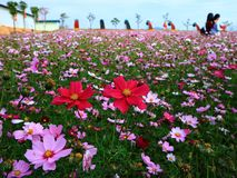 Красочное поле цветка coreopsis Стоковые Изображения